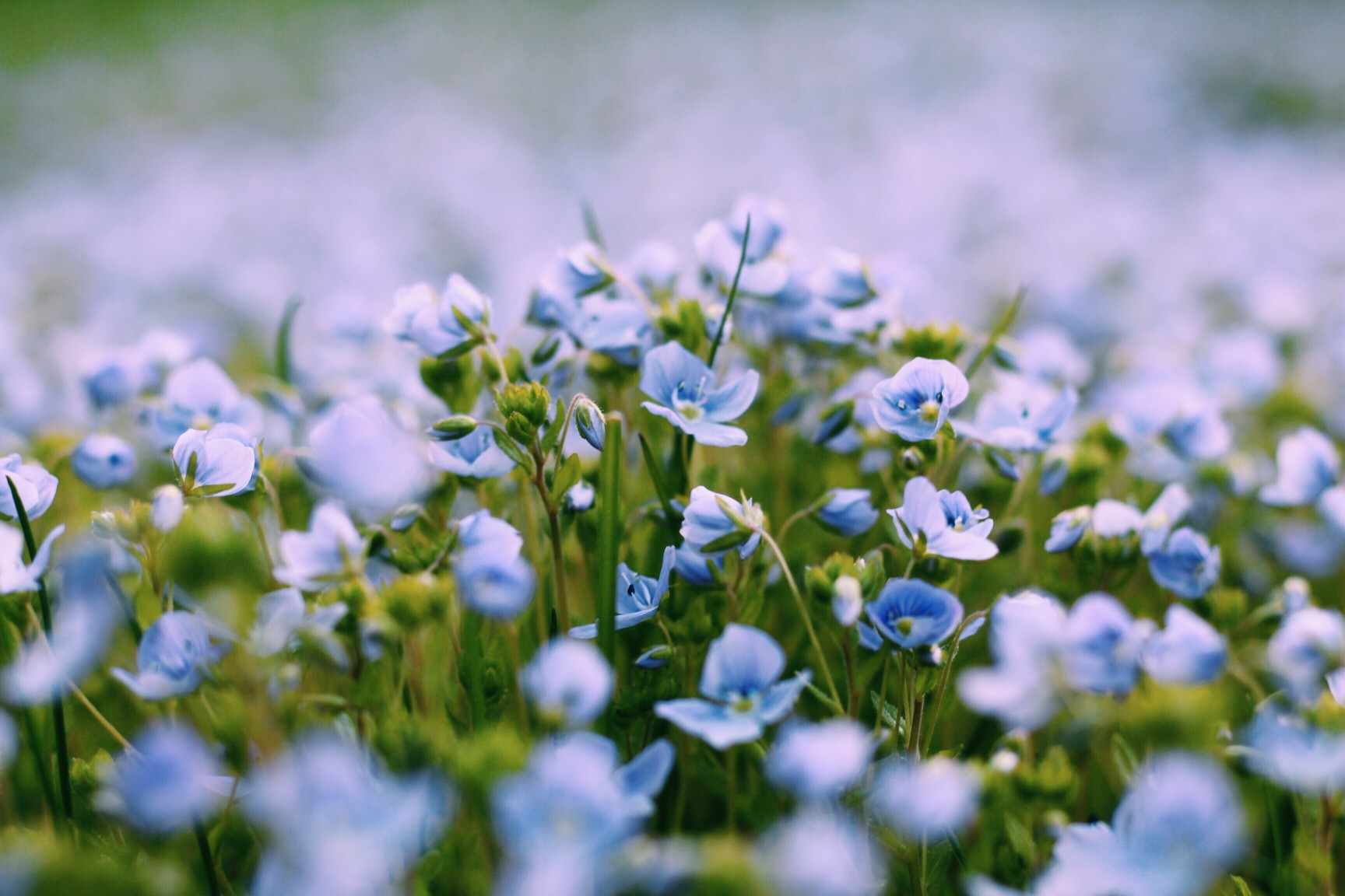 close up of blue flowers